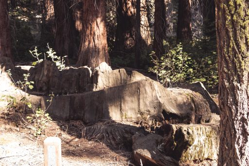 Centennial Stump